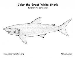 the incredible and attractive great white shark coloring page