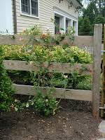 Climbing Plants On Trellis How To Train A Climbing Plant Landscapeadvisor