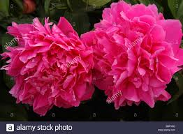 Peony Flowers Two Pink Peonies Flowers Close Up Peonia Stock Photo Royalty Free