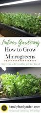 growing indoor microgreens indoor garden superfood