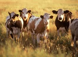 free picture cattle