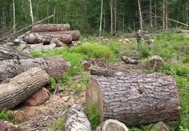 russian forests and tigers left floored by illegal logging wwf