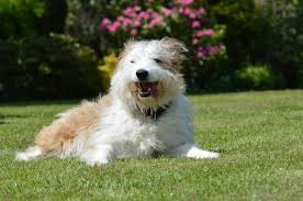 bearded collie x terrier dna bella and squiggle