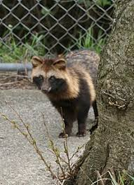 asian dog ring holder images Japanese raccoon dog wikipedia jpg