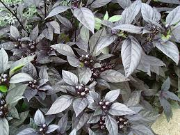 ornamental pepper black pearl all america selections