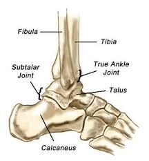 Calcaneus Anatomy Ankle U0026 Lower Leg Anatomy Foot Ankle U0026 Lower Leg Orthopedic