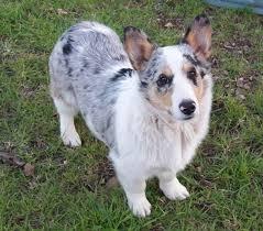 beagle x australian shepherd 15 unreal corgi cross breeds you have to see to believe