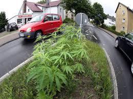 cannabis im garten cannabis beet sorgt f禺r erheiterung bielefeld mitte neue