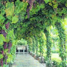 collection grow your own 3 grapevines white groves nurseries