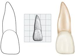 Wheeler S Dental Anatomy Physiology And Occlusion The Permanent Maxillary Incisors Dental Anatomy Physiology And
