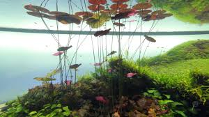 forest underwater by takashi amano youtube