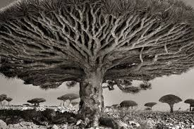 ancient trees a photo series neatorama