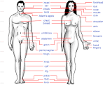 Evolution of Human Anatomy for Breeding | Kiranomics