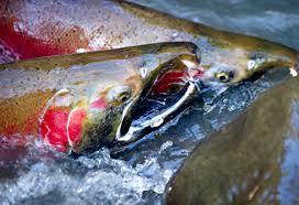 Oregon wild swimming images Robin loznak photography spawning wild oregon coho salmon jpg