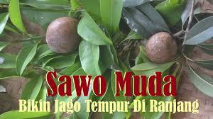 buah sawo muda bikin laki laki makin jago youtube