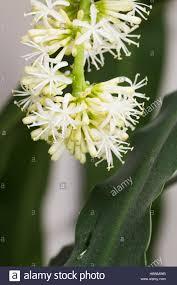 dracaena fragrans cornstalk dracaena flower stock photo royalty