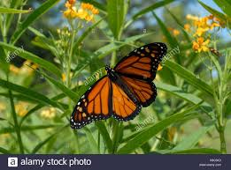 monarch butterfly with wings spread on yellow tropical