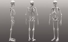 3d Human Anatomy Bone Structure Of Human Body In 3d Human Anatomy Full Body
