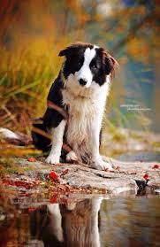 australian shepherd zucht bayern 584 best hundzugast images on pinterest animals dogs and puppy love
