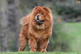 top tips on how to keep a chow chow u0027s coat looking good pets4homes