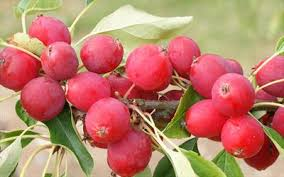 how to choose a crab apple tree for your garden
