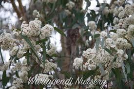 australian native hedge plants plants for sandy soils native plant and revegetation specialists