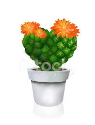 heart cactus in white pot stock photos freeimages com