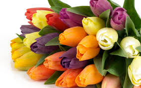 Images Of Tulip Flowers - yellow orange red pink and purple tulip flowers wallpaper