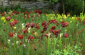 native idaho plants many species of pitcher plants carnivorous plants native to