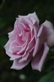 Flowers Information - 29 best beautiful flowers australia images on pinterest