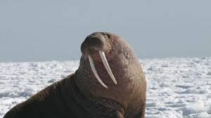 Walrus Meme - spifey walrus meme youtube