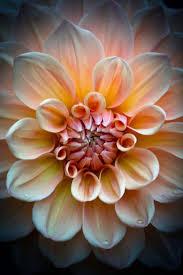 dahlia macro by roswitha schacht dahlias dazzling