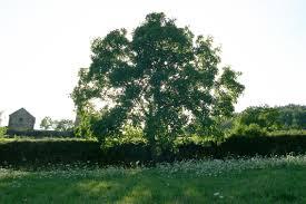 the different walnut tree species