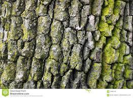 White Oak Tree Bark Oak Tree Bark Royalty Free Stock Photos Image 5469118