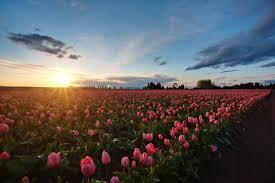 Tulip Field Pink Tulip Field Sunset