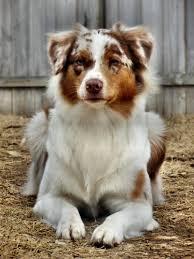 australian shepherd 10 months real life pets zenyatta com forums