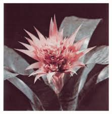 types of bromeliads howstuffworks