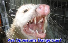 How Do You Get Rid Of Possums In The Backyard by Are Possums Dangerous To People Or Dogs