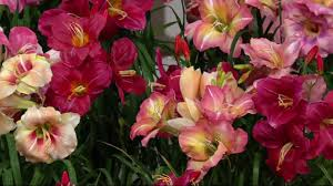 reblooming daylilies roberta s 9 immense and fragrant reblooming daylilies on qvc