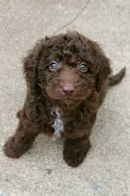australian shepherd labradoodle been allergic to dogs my whole life and finally found one i can
