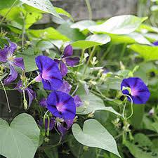 Purple Flower On A Vine - how plants climb climbing plants trellises vines gardener u0027s supply