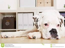 boxer dog 2015 young albino boxer dog looking sad royalty free stock image