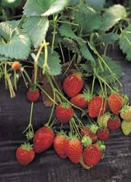 Strawberry Plant Diseases - extension helps strawberry growers fight aggressive plant disease