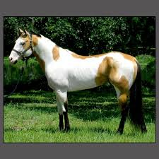 gorgeous colors so many striking pinto paints and appaloosa