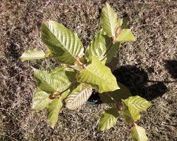 native plants for sale kratom plants for sale mitragyna speciosa