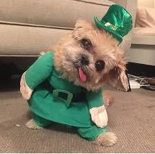 file marnie the dog celebrating st patrick u0027s day jpg wikimedia