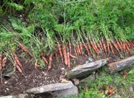 how to build root cellars storing vegetables the old farmer u0027s