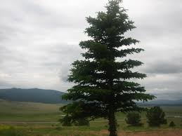 file spruce tree img 0444 jpg wikimedia commons