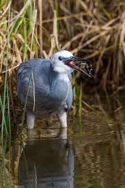heron meaning white faced heron new zealand birds online