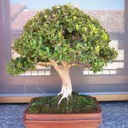 buxus sempervirens in vaso bosso buxus sempervirens alberi bosso coltivare bosso